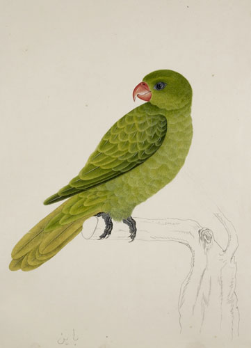 Blue-backed or Müller's parrot. Illustration by J Briois. Photograph: The British Library Board